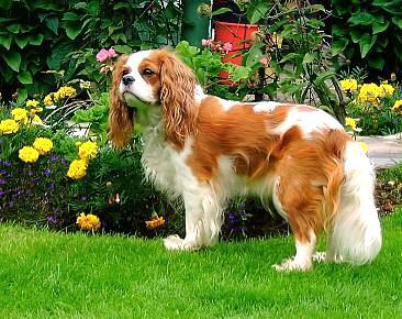 ... King Charles Spaniels - Sharda Bakers Dog WorldSharda Bakers Dog World