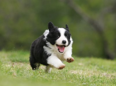 The Border Collie Is A Wonderful And Attentive Dog Breed There Are Many Varieties Of Puppies For Sale From Professional Breeders Pet Stores