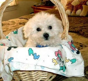 Picture taken from from www.all-about-bichon-frises.com