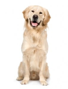 Picture taken from www.justdogbreeds.com