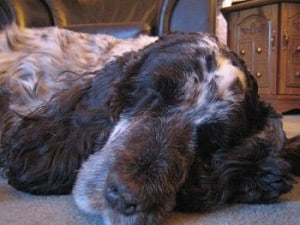 Picture taken from www.dogbreedinfo.com