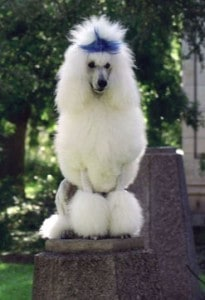 Picture taken from www.poodles-pictures.com