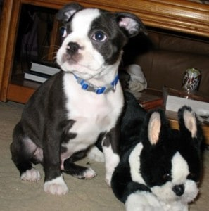 Picture taken from www.terrierlover.com