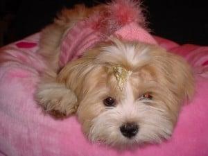Picture taken from www.dogbreedinfo.com