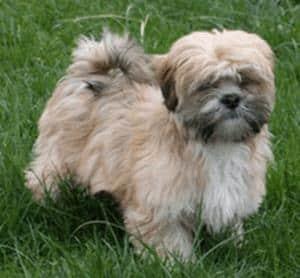 Picture taken from www.puppiesforsalerus.com